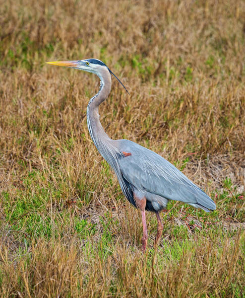 Photograph - Great Blue by John M Bailey