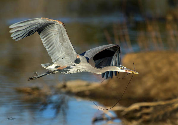 Photograph - Great Blue Nest Building by Judi Dressler