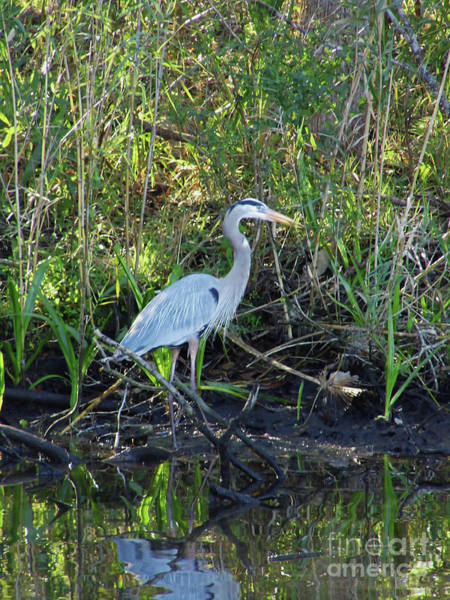 Photograph - Great Blue On The Bank by D Hackett