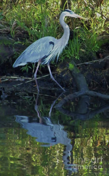 Photograph - Great Blue Reflection by D Hackett