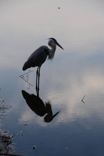 Photograph - Great Blue Reflection by Michael Raiman