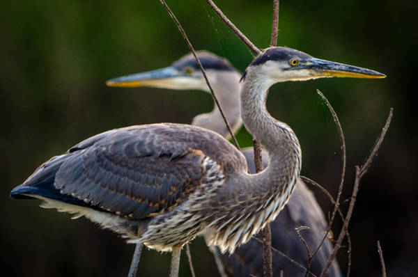 Photograph - Great Blue Siblings by Jeff Phillippi