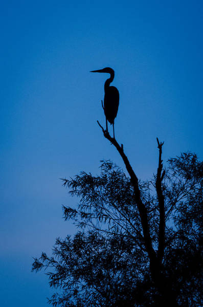 Photograph - Great Blue Silhouette by Jeff Phillippi