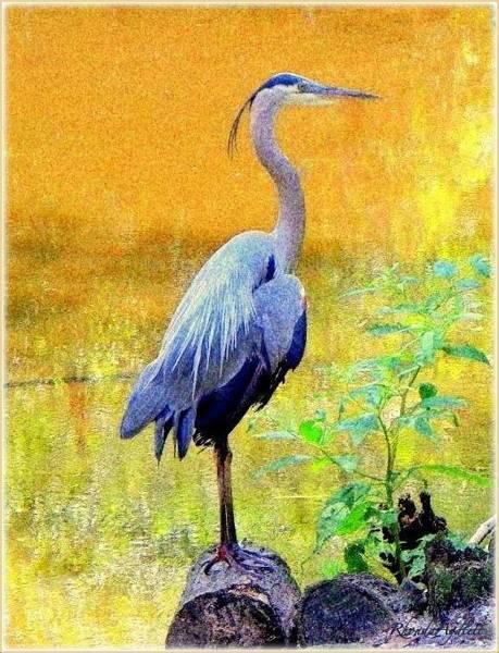 Great Blue Heron Mixed Media - Great Blue by YoMamaBird Rhonda