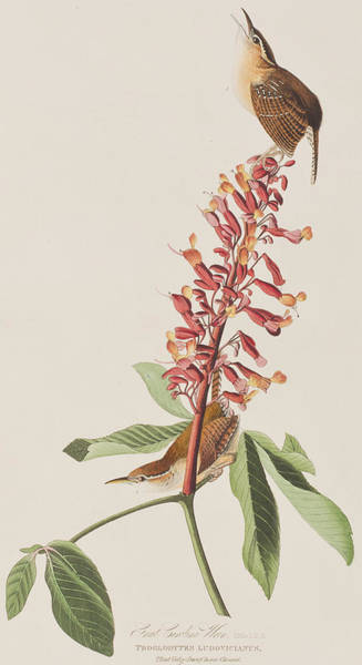 Audubon Painting - Great Carolina Wren by John James Audubon