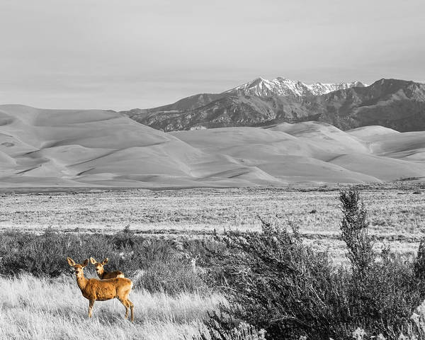 Photograph - Great Colorado Sand Dunes Deer by James BO Insogna