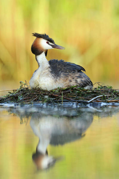 Photograph - Great Creasted Grebe On Nest by Jasper Doest