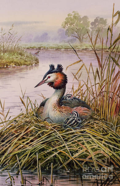 Wall Art - Painting - Great Crested Grebes by Carl Donner