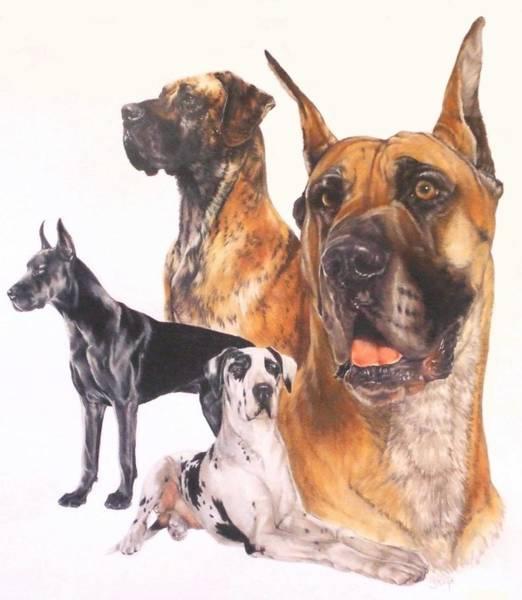 Drawing - Great Dane by Barbara Keith