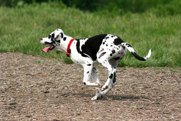 Photograph - Great Dane Harlequin Puppy by David Dunham