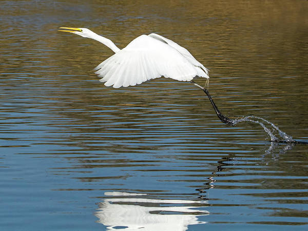Photograph - Great Egret 0232-120417-1cr by Tam Ryan