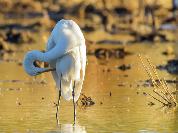 Photograph - Great Egret 1704-111817-1cr by Tam Ryan