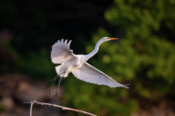 Photograph - Great Egret 3173 by Jeff Phillippi