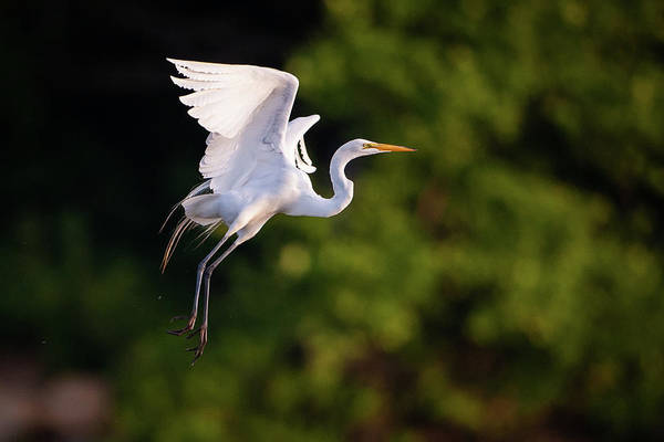 Photograph - Great Egret 3174 by Jeff Phillippi