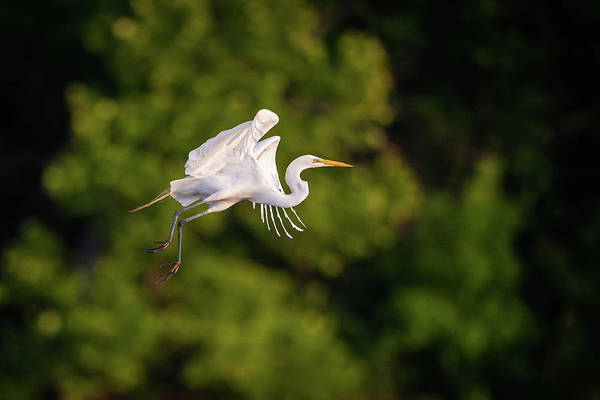 Photograph - Great Egret 3176 by Jeff Phillippi