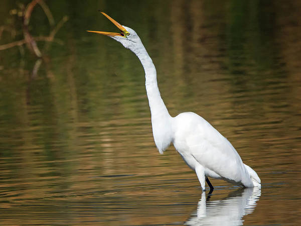 Photograph - Great Egret 3741-112317-1cr by Tam Ryan