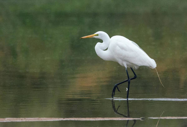 Photograph - Great Egret 7569-021418-1cr by Tam Ryan