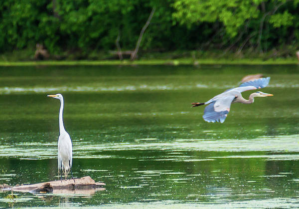 Photograph - Great Egret And Great Blue Heron by Edward Peterson