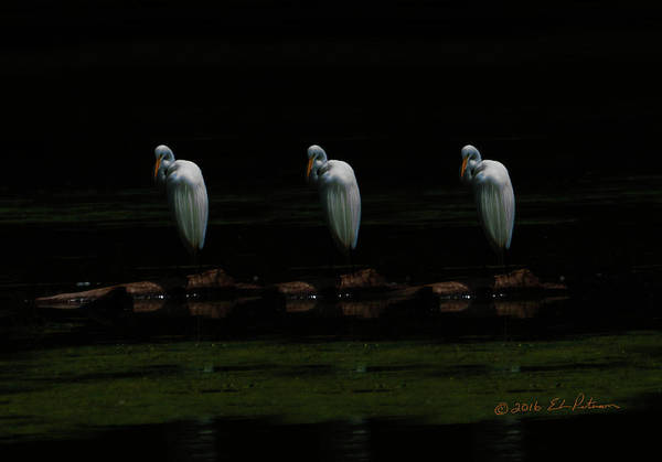 Photograph - Great Egret Art by Edward Peterson