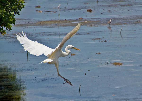 Photograph - Great Egret Ascending by Bob Slitzan