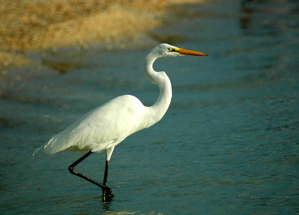 Photograph - Great Egret At Beach by Ginger Wakem