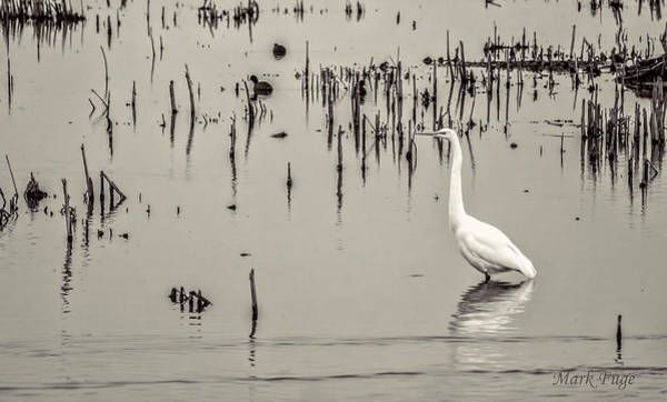 Horicon Marsh Photograph - Great Egret At Horicon - B - W  by Mark Fuge