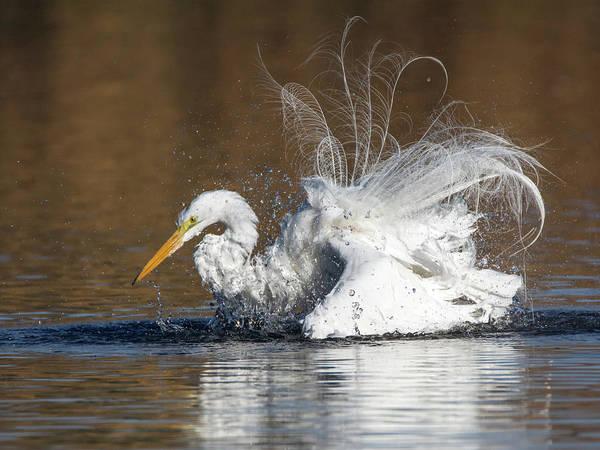 Photograph - Great Egret Bathing 1056-010518-1cr by Tam Ryan