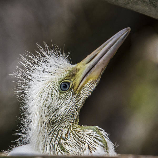 Wall Art - Photograph - Great Egret Chick Waiting by Paula Porterfield-Izzo