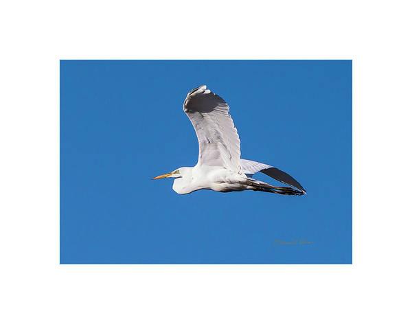 Photograph - Great Egret Evening Flight by Edward Peterson