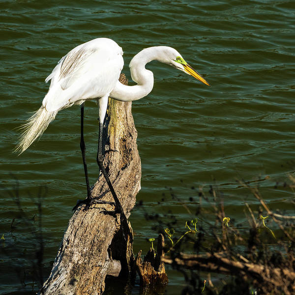 Photograph - Great Egret Fishing by Gordon Ripley