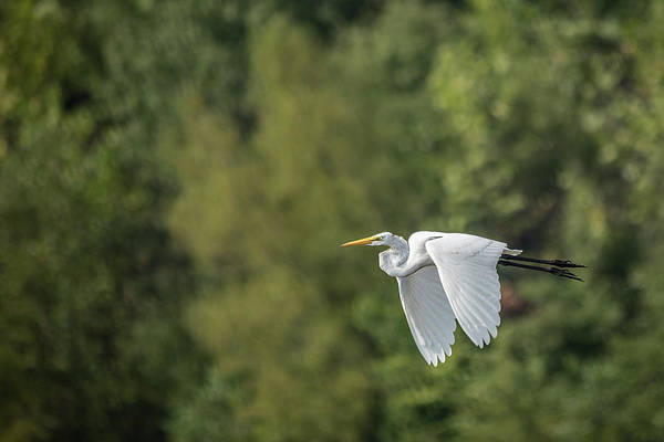 Photograph - Great Egret Flying I I by Jemmy Archer