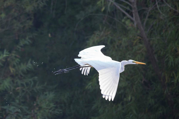 Photograph - Great Egret Flying I by Jemmy Archer