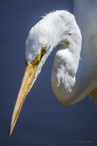 Photograph - Great Egret - Headshot by Albert Seger