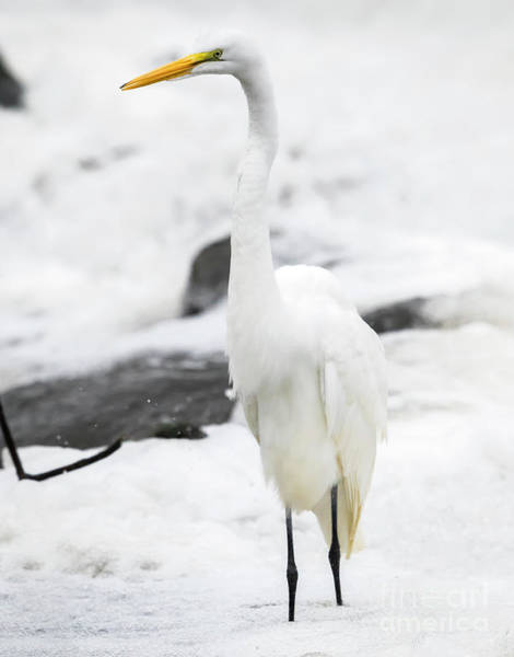 Photograph - Great Egret In All White  by Ricky L Jones