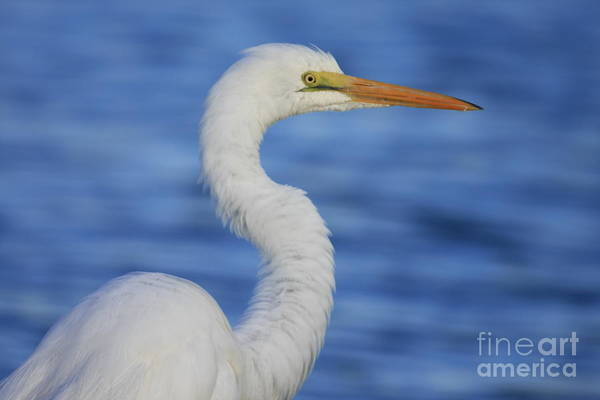 Photograph - Great Egret In Blue by John F Tsumas