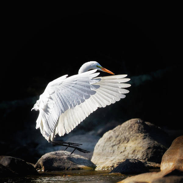 Photograph - Great Egret In Flight by Bill Wakeley