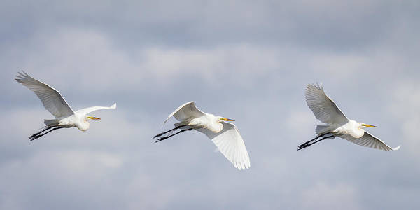 Photograph - Great Egret In Flight by Dawn Currie