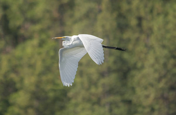 Photograph - Great Egret In Flight by Loree Johnson