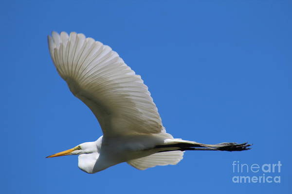 Wall Art - Photograph - Great Egret In Flight by Maili Page