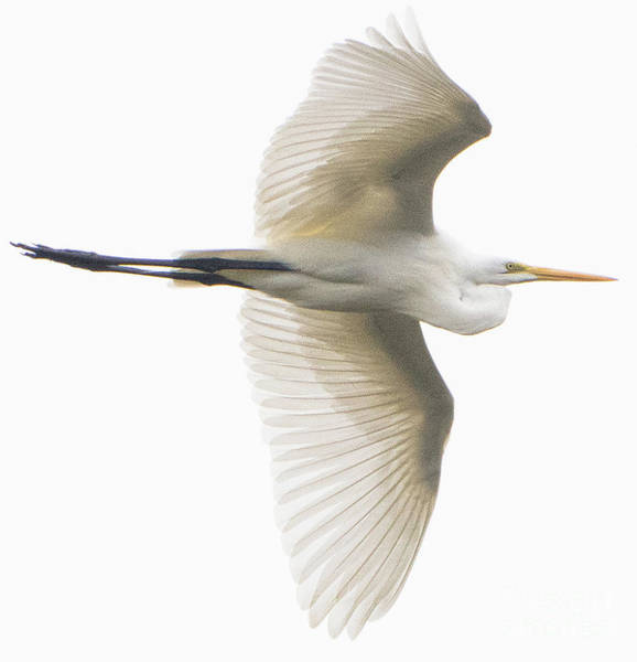 Photograph - Great Egret In Flight by Vincent Billotto