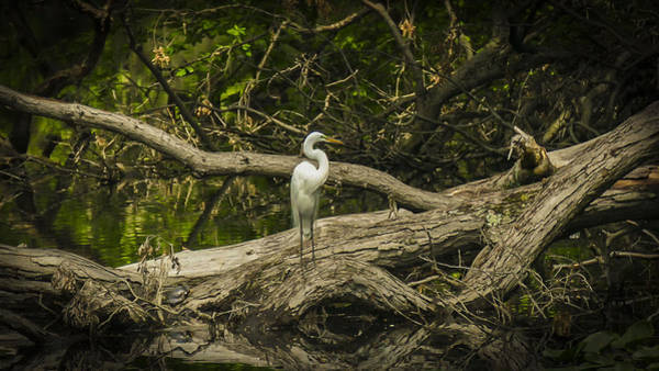 Photograph - Great Egret In Solitude  by Jorge Perez - BlueBeardImagery