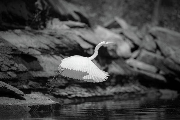 Photograph - Great Egret Inflight by Jeff Phillippi