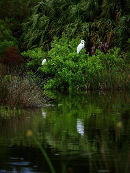 Photograph - Great Egret by James Granberry