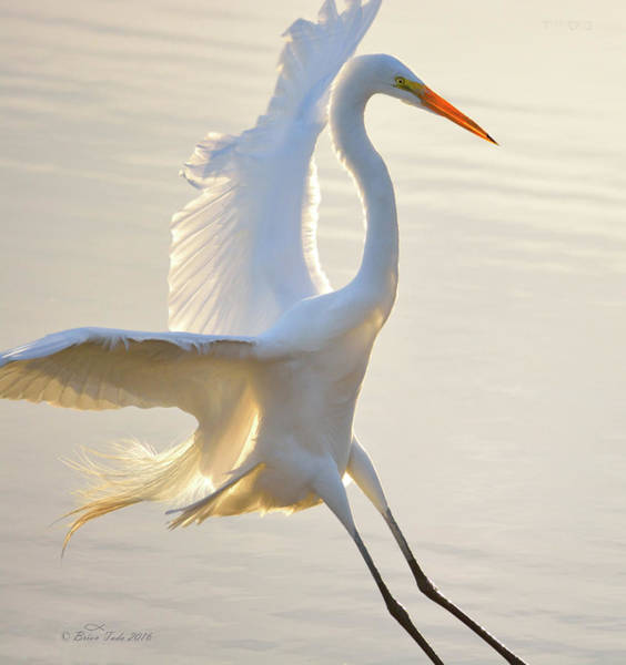 Photograph - Great Egret Landing by Brian Tada