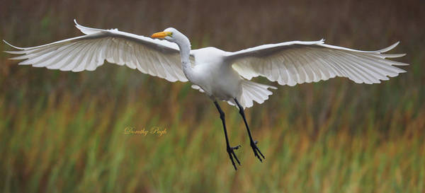 Photograph - Great Egret Landing by Dorothy Pugh