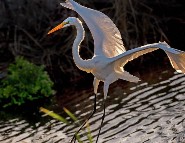 Photograph - Great Egret Landing by Judi Dressler