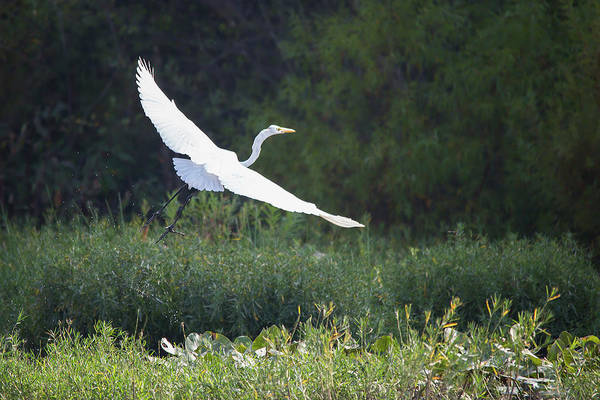Photograph - Great Egret Lift Off by Jemmy Archer