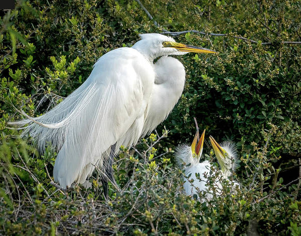 Photograph - Great Egret Mom And Babies by Judi Dressler