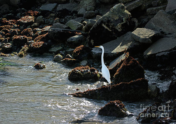 Photograph - Great Egret On Sunny Seaside Rocks by Susan Wiedmann