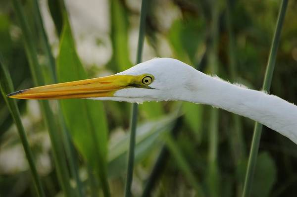 Photograph - Great Egret Portrait In Marsh by Bradford Martin